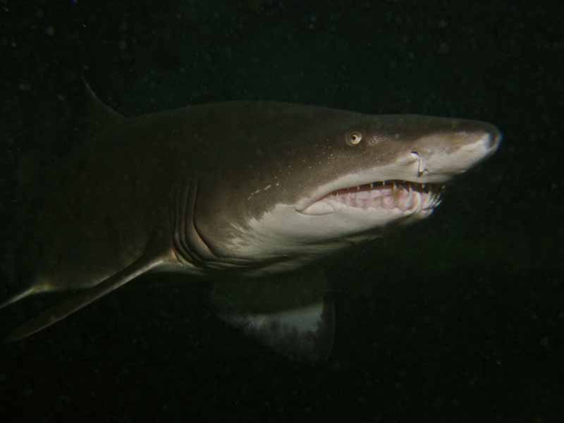 Baby sand tiger sharks - photo#23